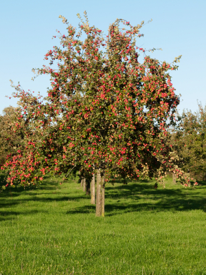 MatureAppleTree