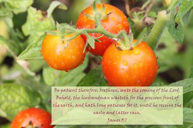tomato fruit1